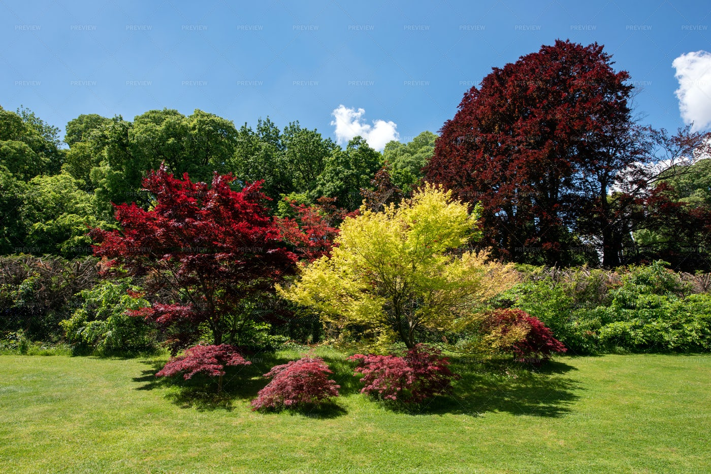 Red And Golden Japanese Maples: Stock Photos