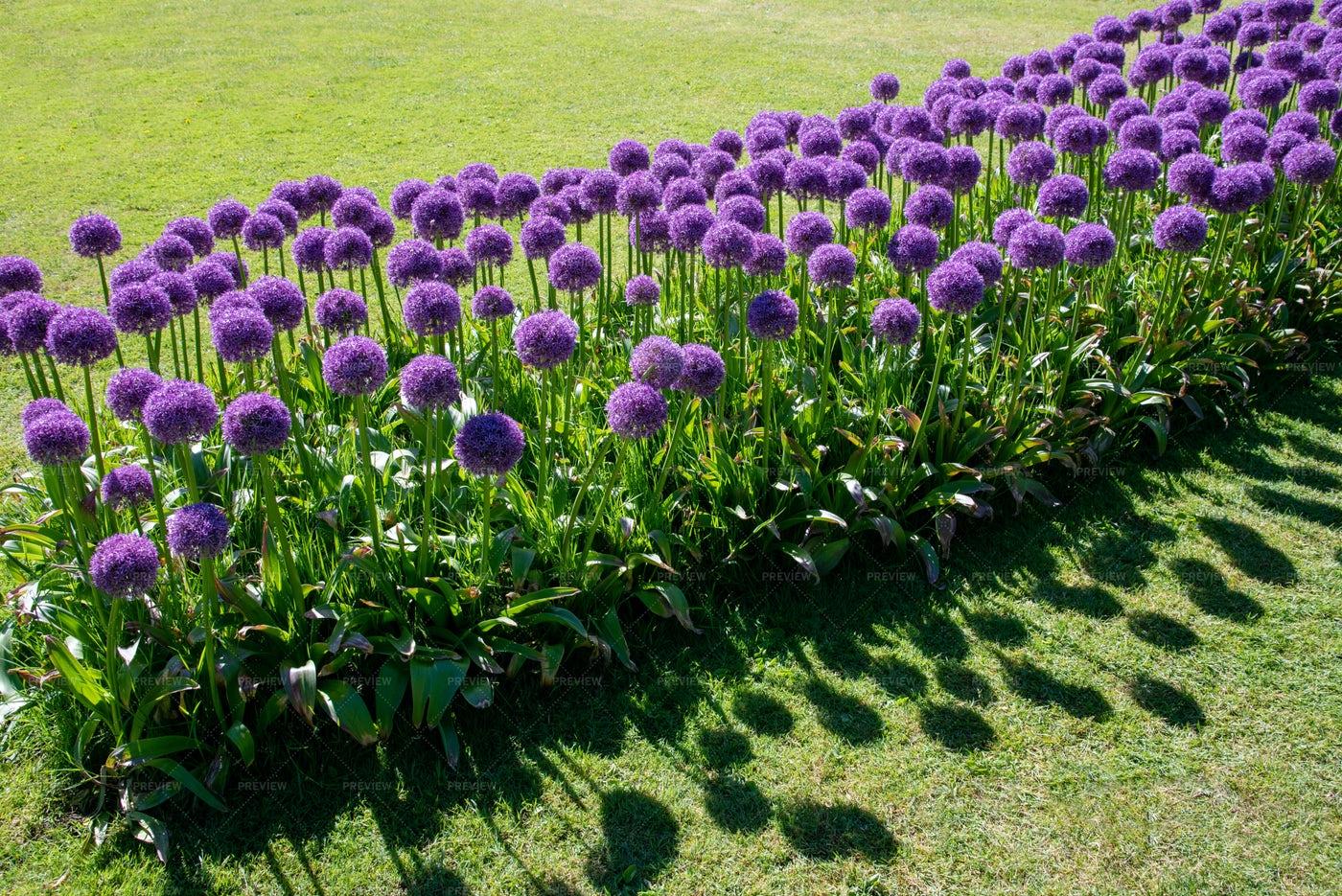 Giant Allium Flowers In A Row: Stock Photos