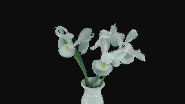 Pure White Iris Flowers Opening: Stock Video