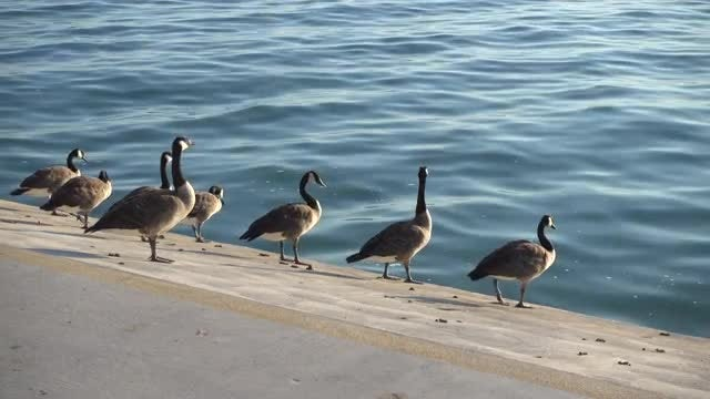 Canadian Geese Looking At Water: Stock Video