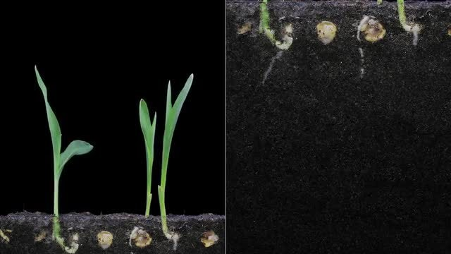 Maize Seeds Germinating And Growing: Stock Video