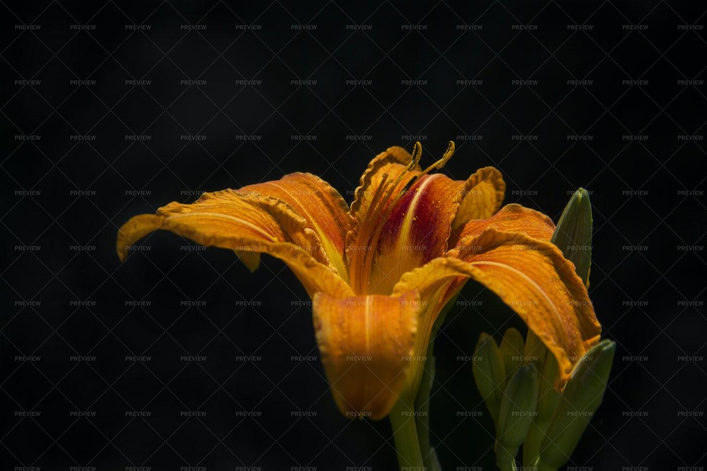 Orange Lily: Stock Photos