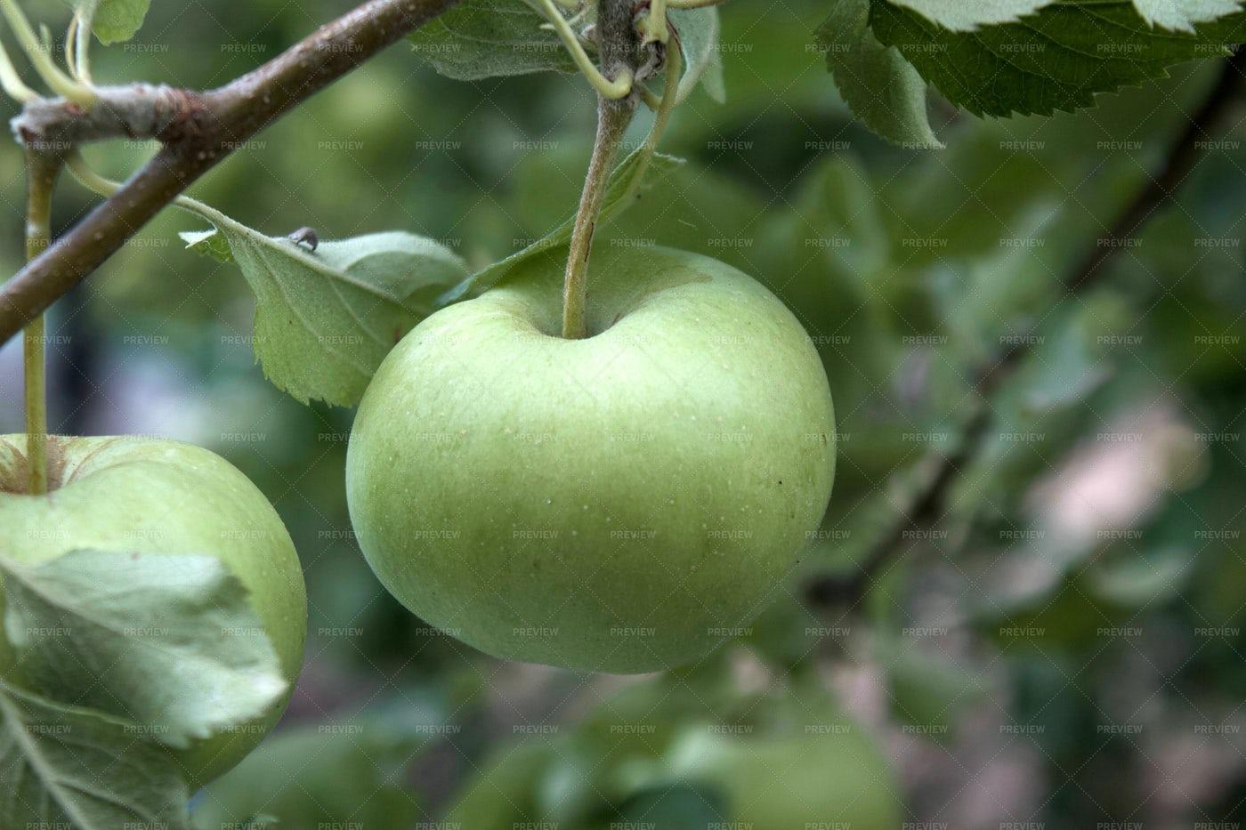 Green Apples: Stock Photos