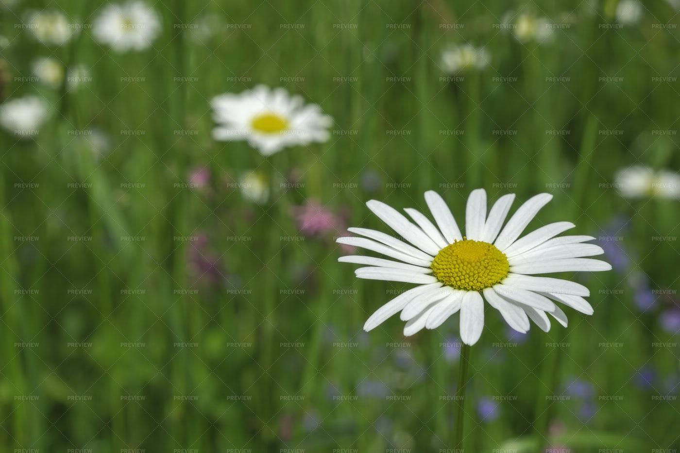 Daisy Flower: Stock Photos