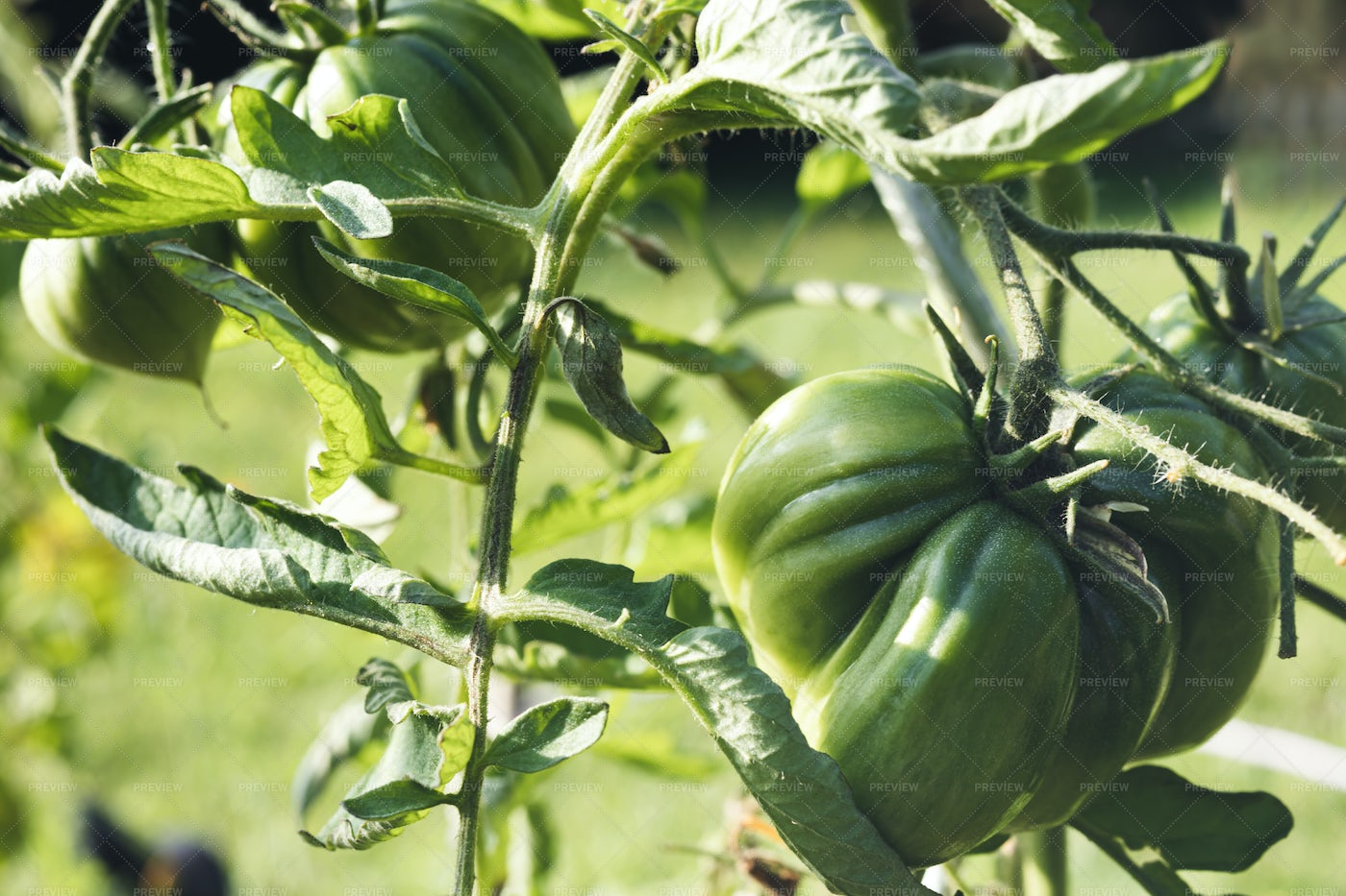 Unripe Tomatoes On A Branch: Stock Photos