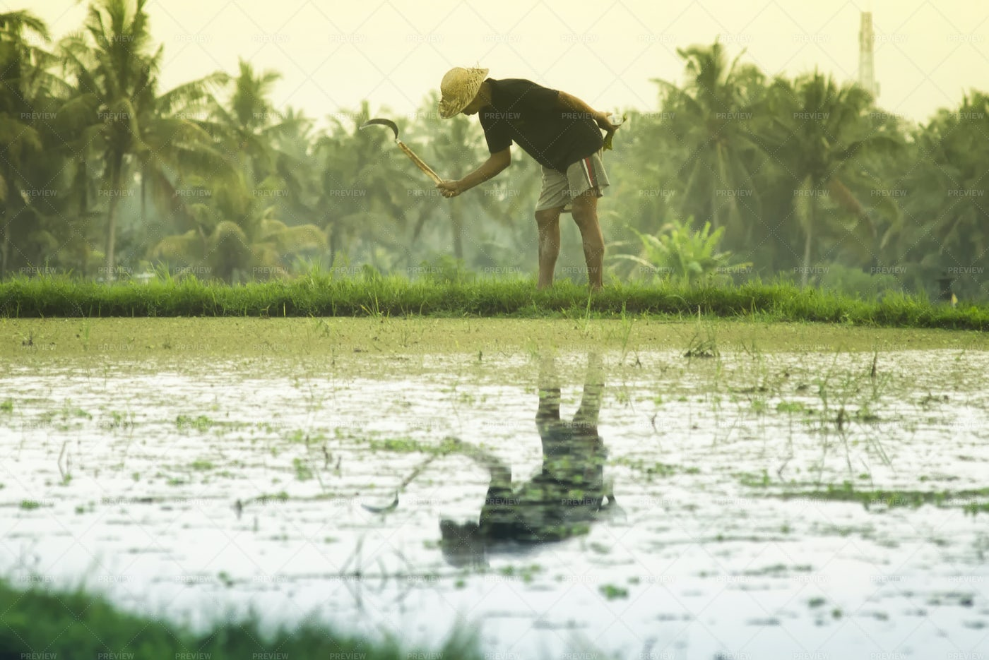 Indonesian Man Working On Rice Paddy: Stock Photos