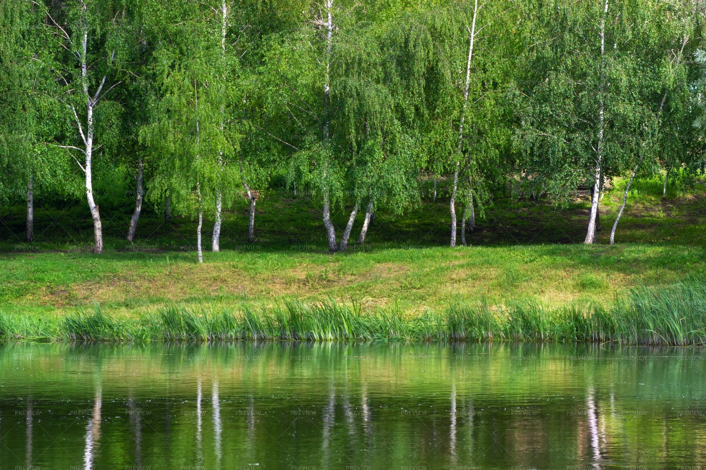 Birches On Riverside: Stock Photos