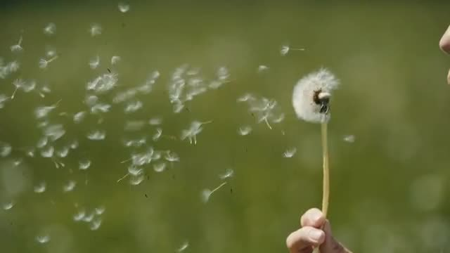 Blowing A White Dandelion: Stock Video