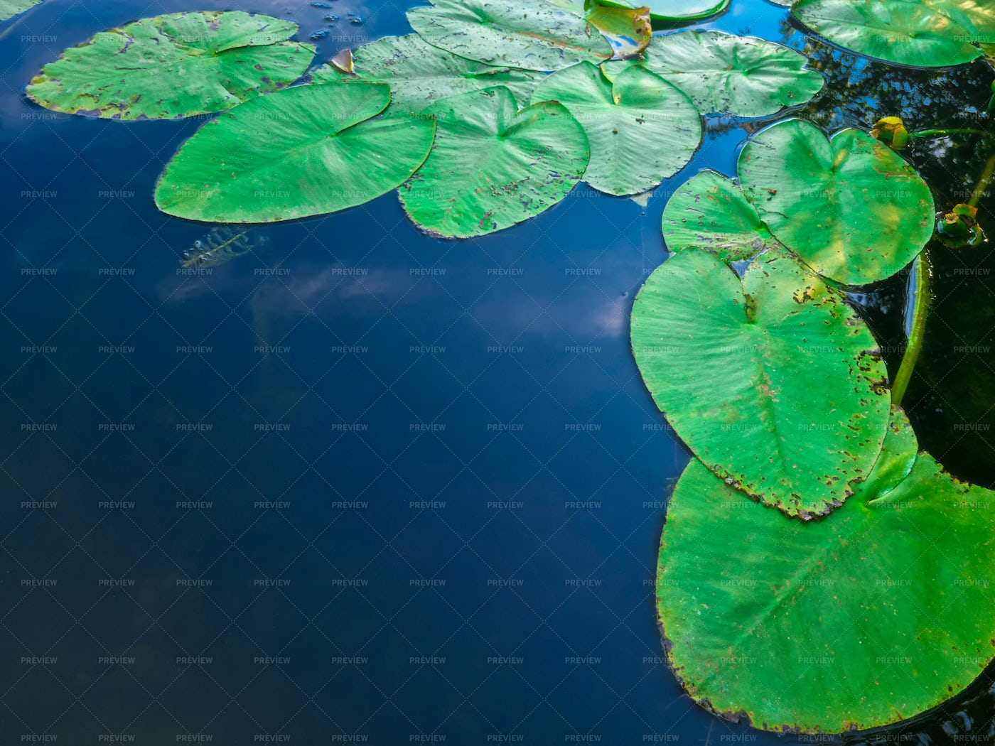 Water Lily Leaves: Stock Photos