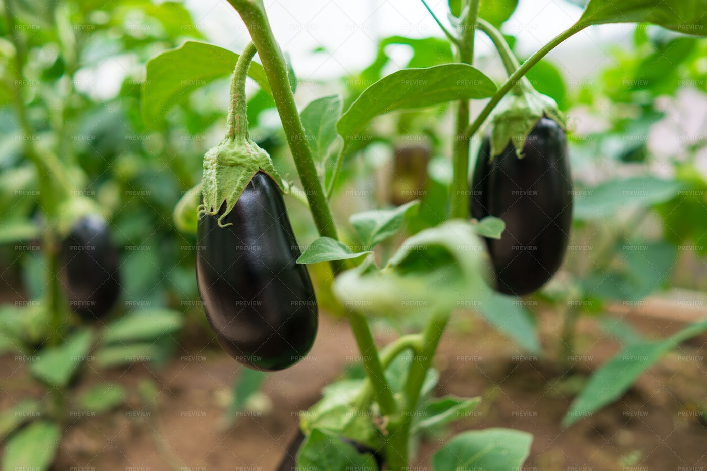 Nutrition Eggplants In A Greenhouse: Stock Photos