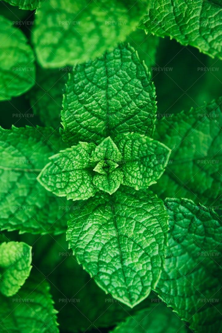 Mint Herb Plant Grow: Stock Photos
