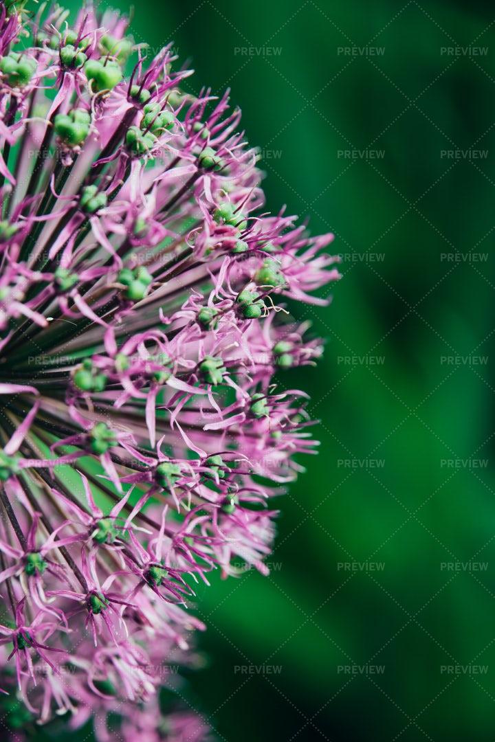 Purple Flower Head: Stock Photos
