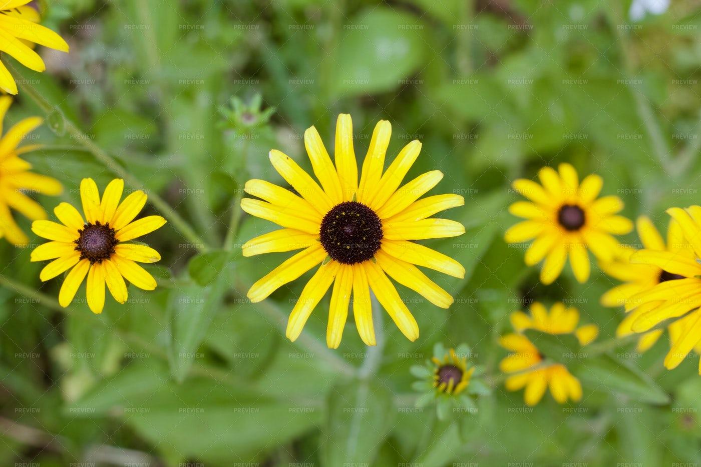Rudbeckia Flower: Stock Photos
