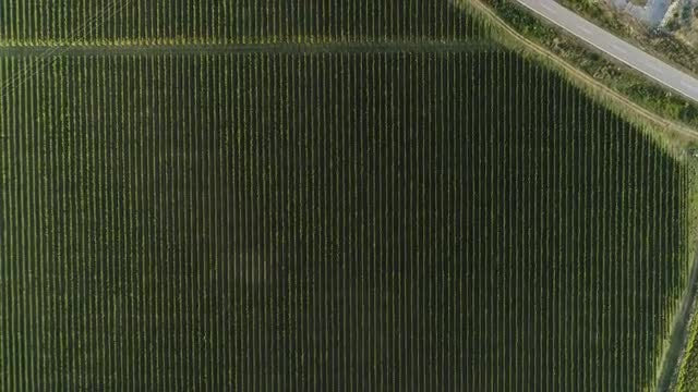 Vineyard From Top Aerial: Stock Video
