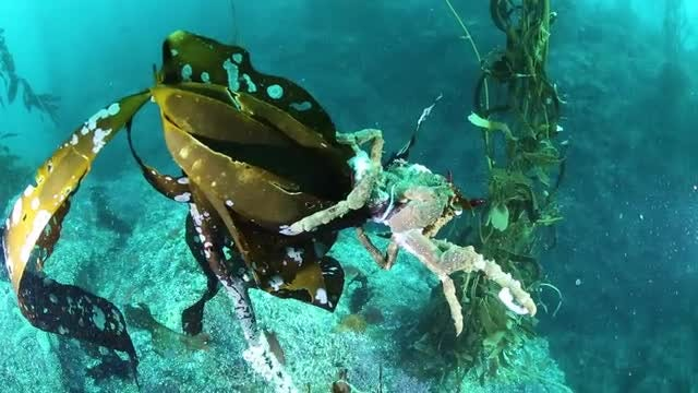 Crab Hanging On Seaweed: Stock Video