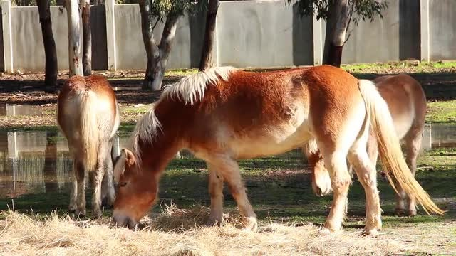 Brown Horses Are Eating Straw: Stock Video