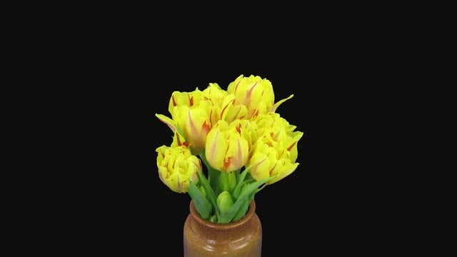 Time-Lapse of Yellow-Red Tulips: Stock Video