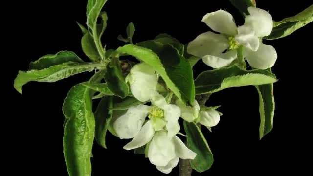 Time-Lapse of Blooming Apple Branch: Stock Video