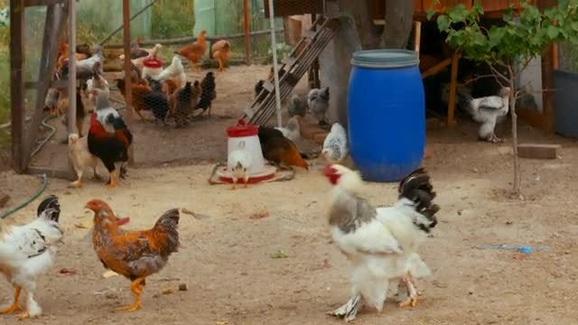 Homegrown Chickens In A Farm: Stock Video