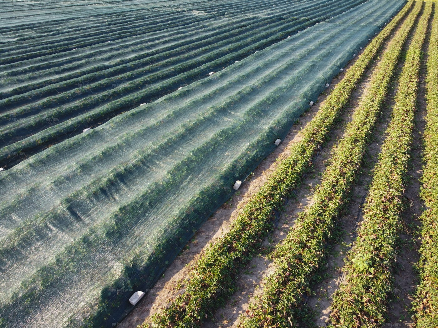 Strawberry Cultivation Technology: Stock Photos
