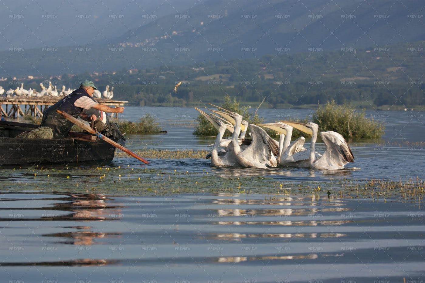 Fisherman Feeding Dalmatian Pelicans: Stock Photos