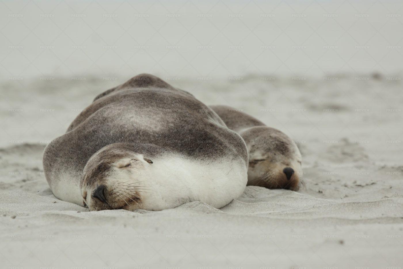 Sea Lions Sleeping: Stock Photos