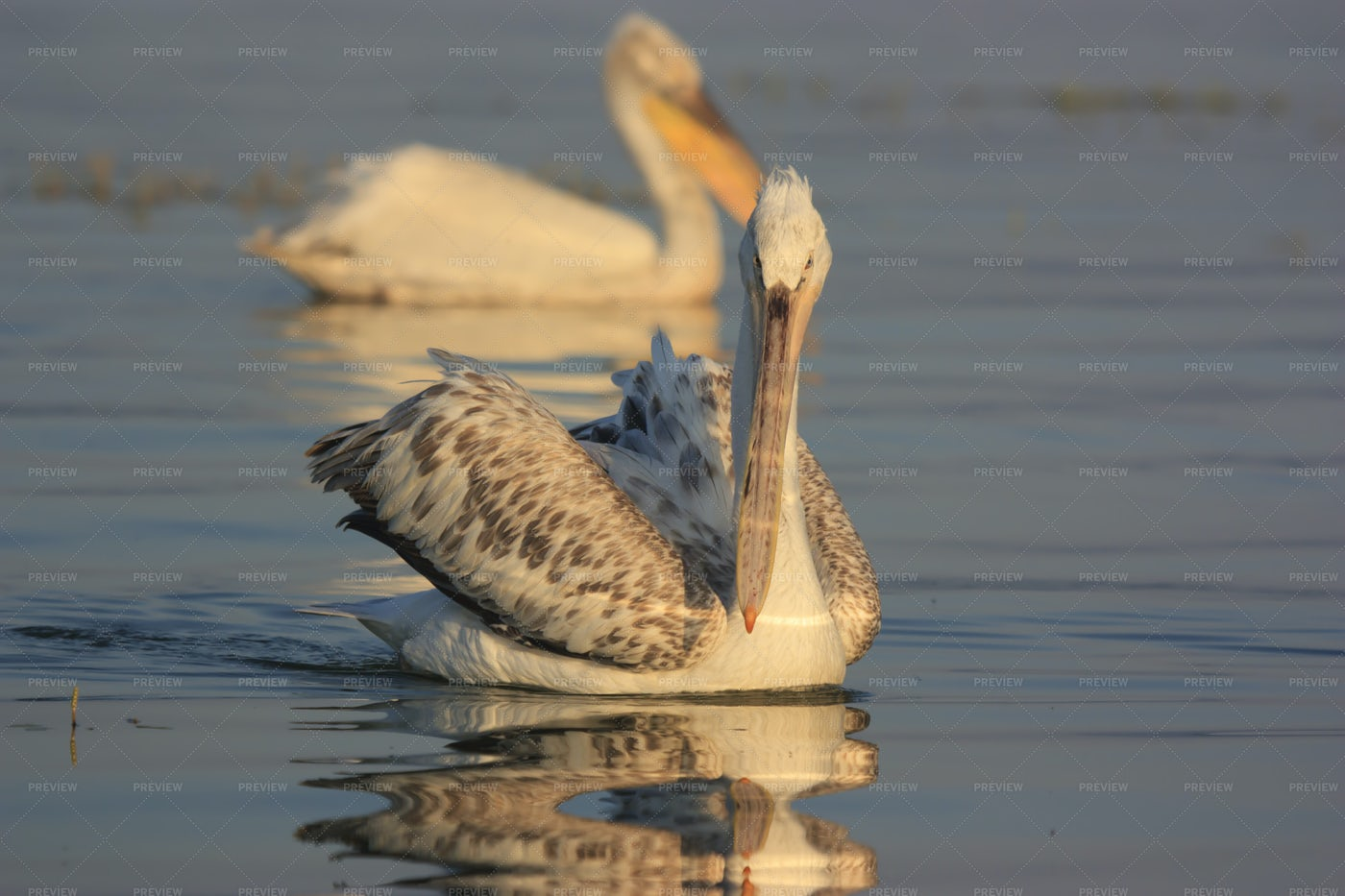 Dalmatian Pelicans: Stock Photos