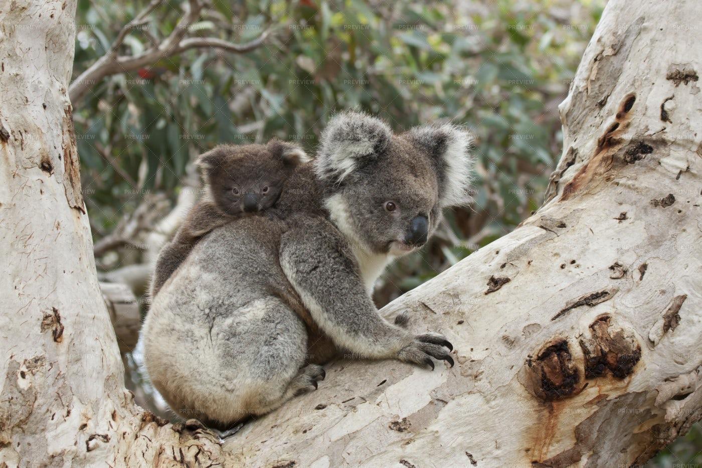 Baby Koala On Mother's Back: Stock Photos