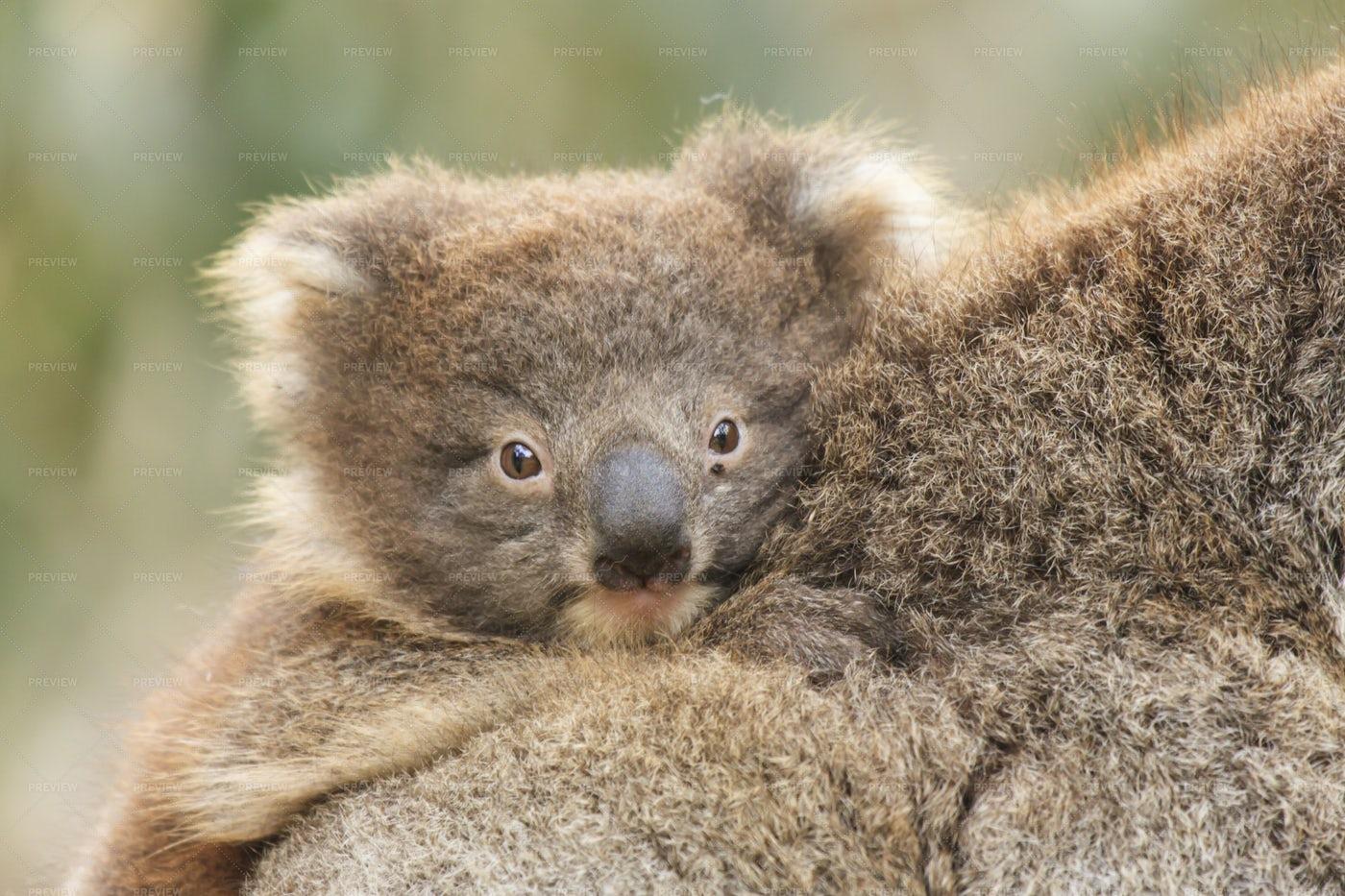 Baby Koala: Stock Photos
