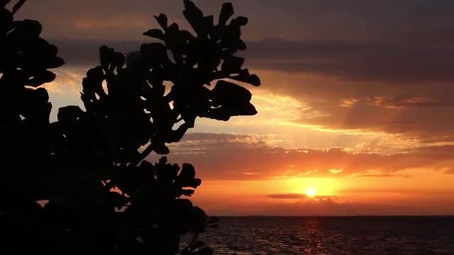 Fig Tree At Sunset: Stock Video