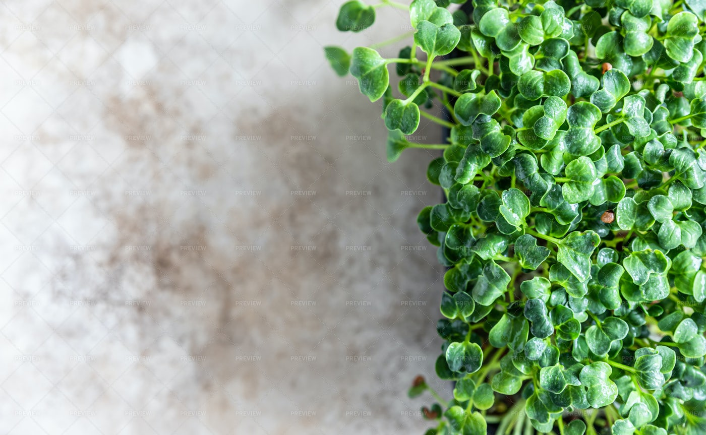 Daikon Radish Microgreen Sprouts: Stock Photos