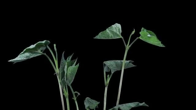 Bean Plants Growing Taller: Stock Video