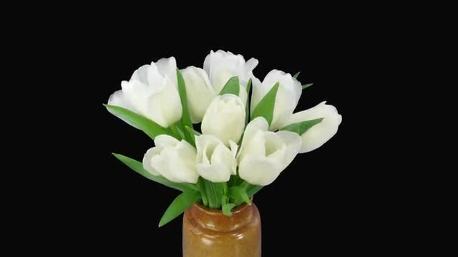 Time Lapse Tulip Sequence Day 37 >> Opening White Tulips Bouquet Stock Video Motion Array