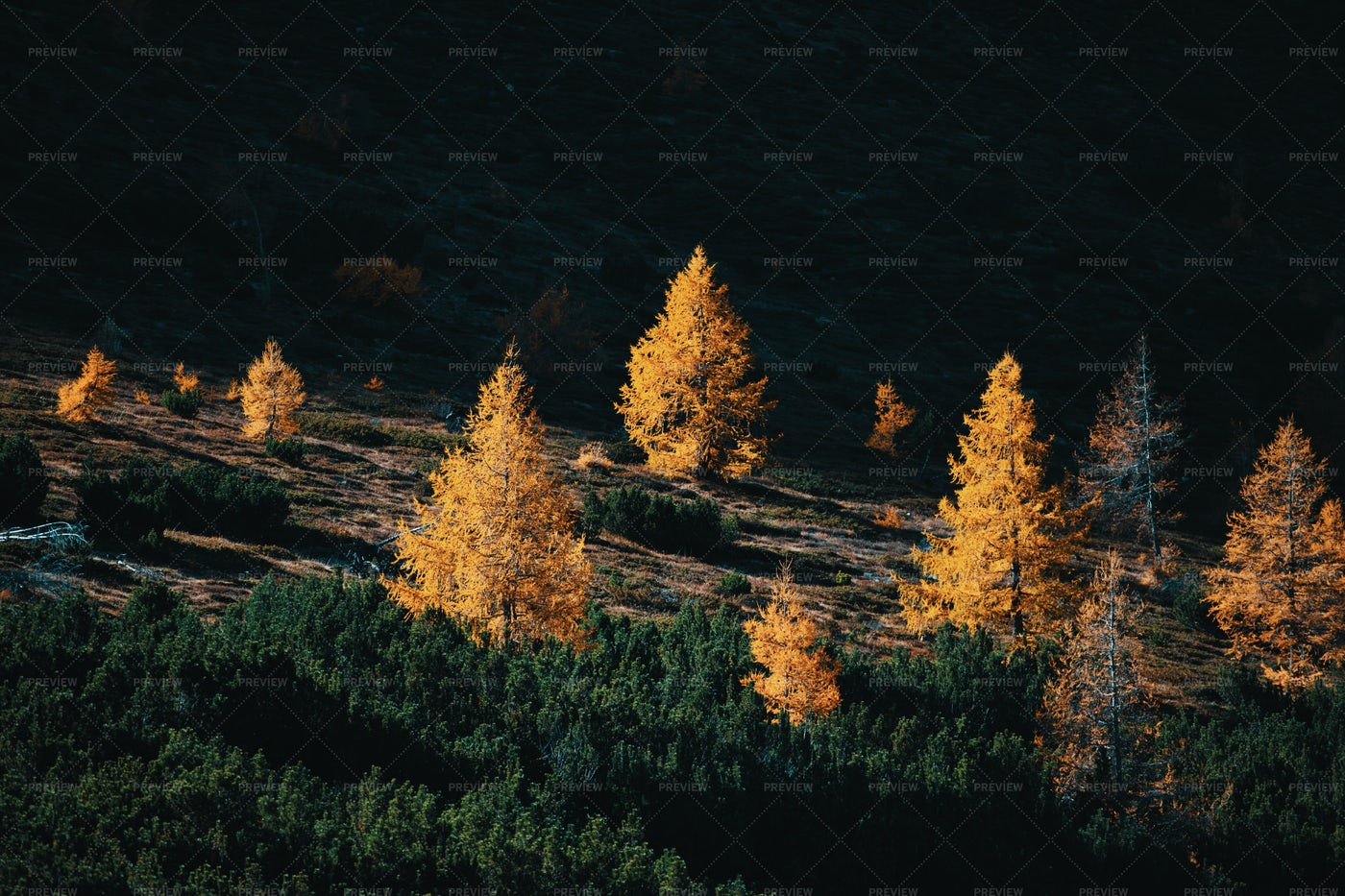 Larches And Pines: Stock Photos