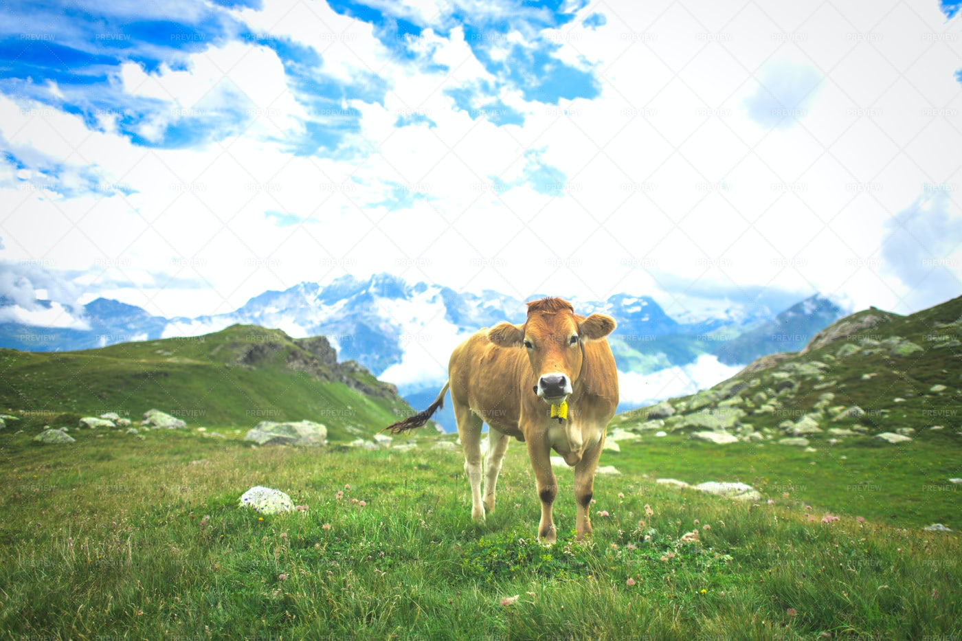 Cows On The Pastures: Stock Photos