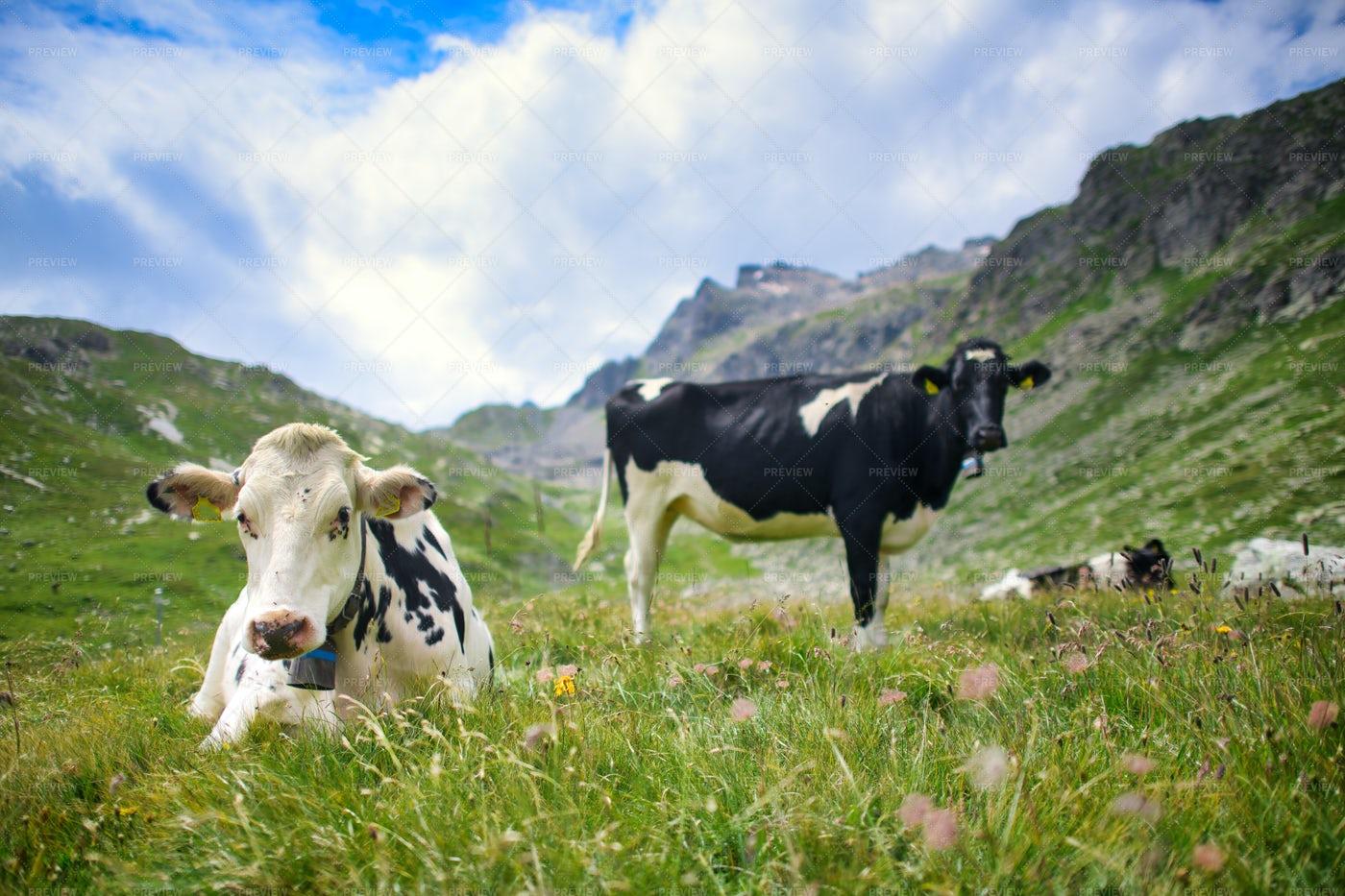 Swiss Cow: Stock Photos