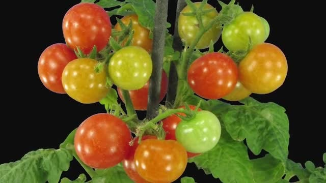 Time-Lapse of Ripening Tomatoes: Stock Video