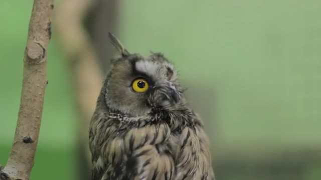 Close-up Shot Of Owl Blinking : Stock Video
