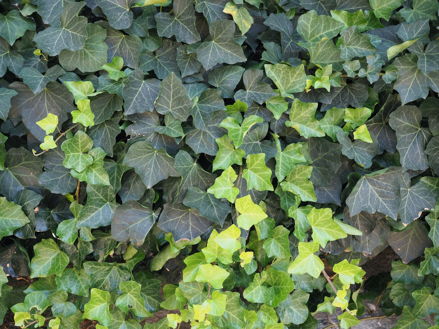 Ivy Wall Texture: Stock Photos