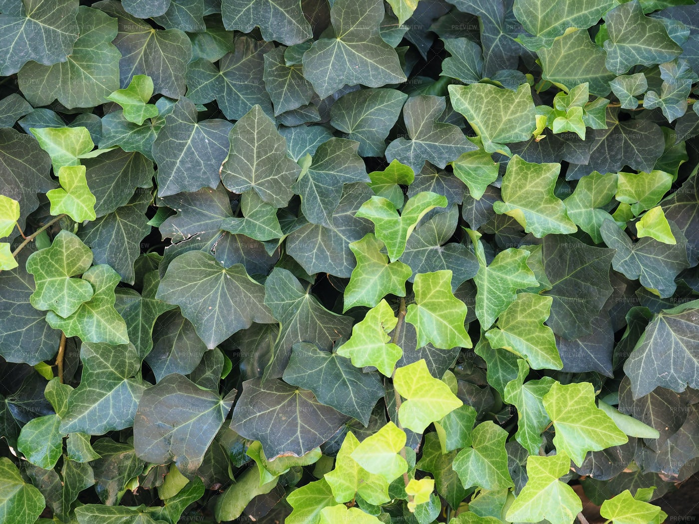 Ivy Wall Background: Stock Photos