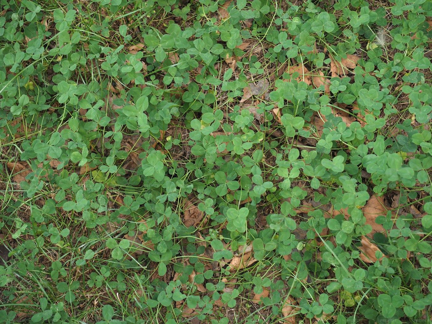 Clover Meadow Background: Stock Photos