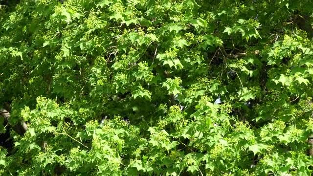 Close-up Shot Of Maple Tree : Stock Video