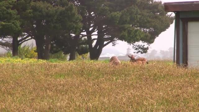 Two Deer Eating: Stock Video