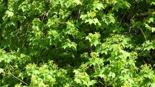 Green Maple Tree In Spring: Stock Video