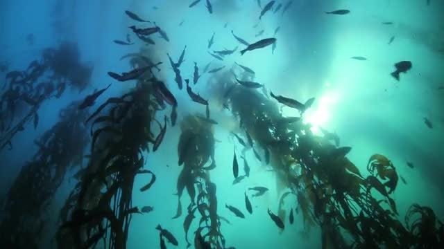 Kelp Forest With Rockfish: Stock Video