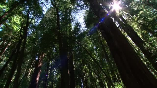 Looking Up At Tall Trees: Stock Video