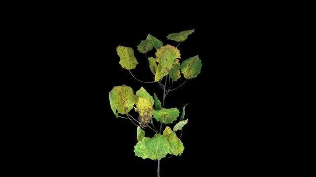 Aspen Tree Leaves Dying: Stock Video