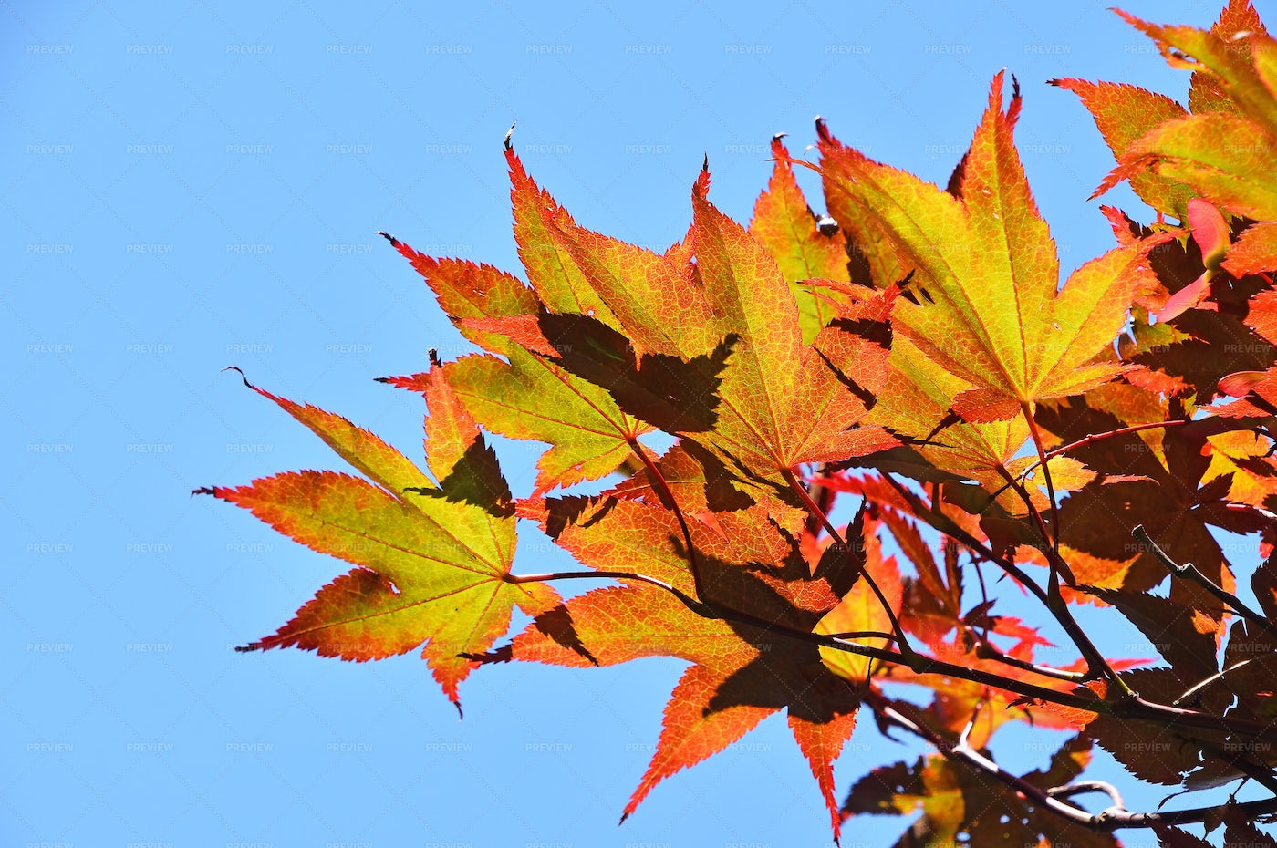 Autumn Acer Or Maple Leaves: Stock Photos