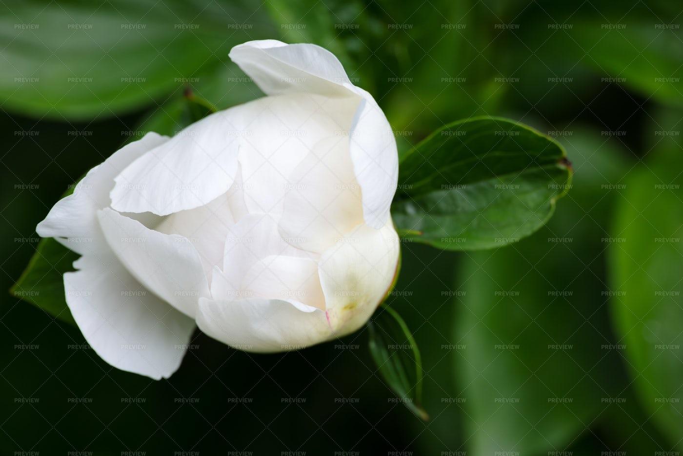White Peony Flower Bud: Stock Photos