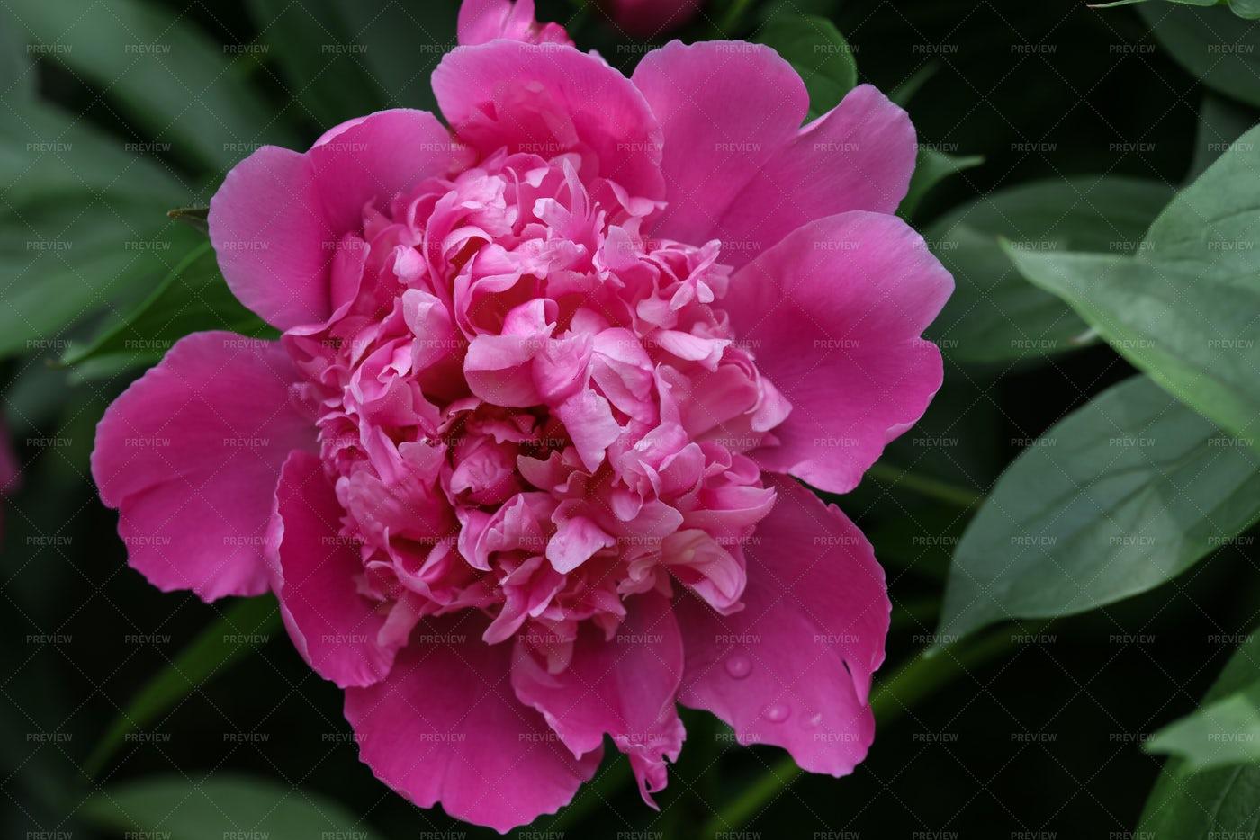 Pink Peony Flower: Stock Photos